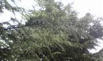 杉の木に付く水滴2.jpg